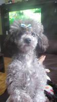 poodle tiny toy