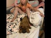 Great dane / red coon hound puppy