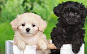 King Charles Cavalier/Toupoodle cross