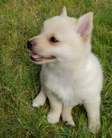 Puppies for Sale Quebec
