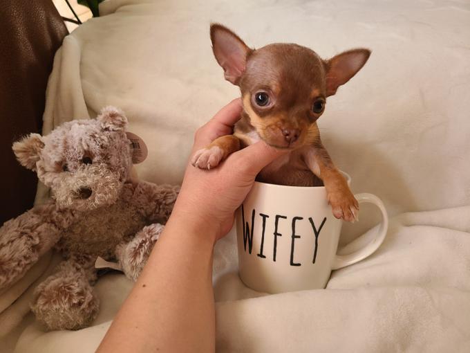Teacup Applehead Chihuahua