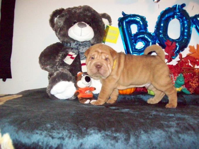 Toy Chinese Shar - Pei Puppies