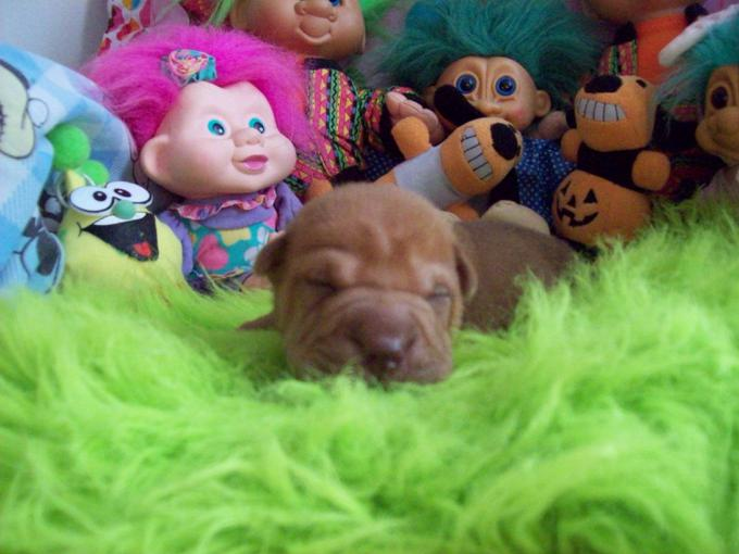 Chinese Shar - Pei Puppies * Toy's *Miniatures