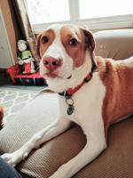 Beagle fox hound