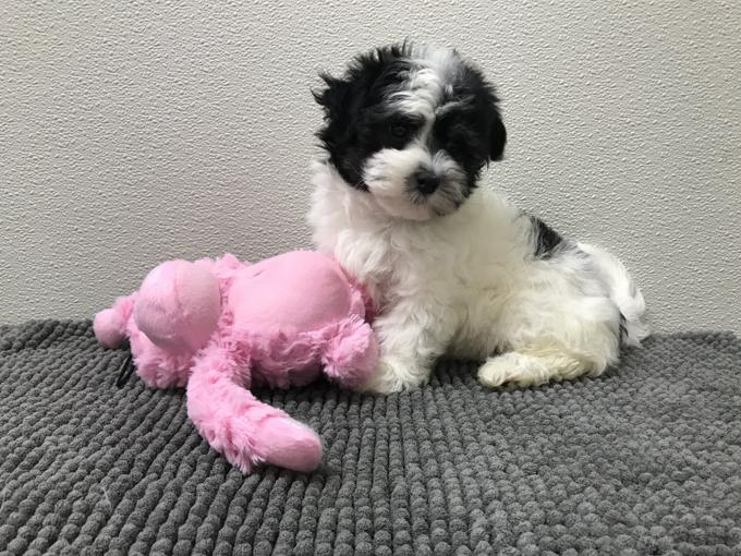 Beautiful HAVANESE x MALTESE PUPPIES*