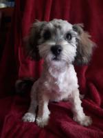 Toy poodle Havanese cross