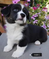 Puppies for Sale BC