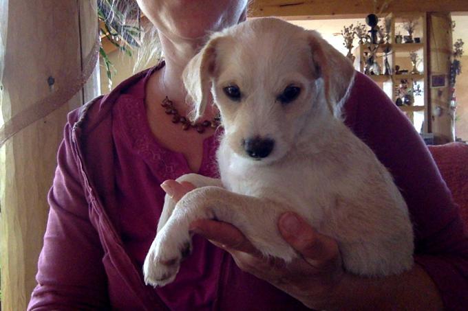 Deer-Headed Chihuahua & Mini Poodle