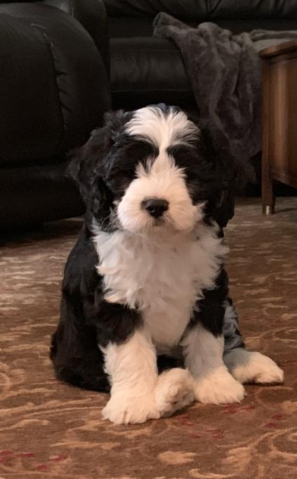 King Charles cavalier x mini ausie x mini poodle