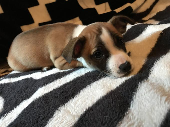 Jack Russell/Chihuahua