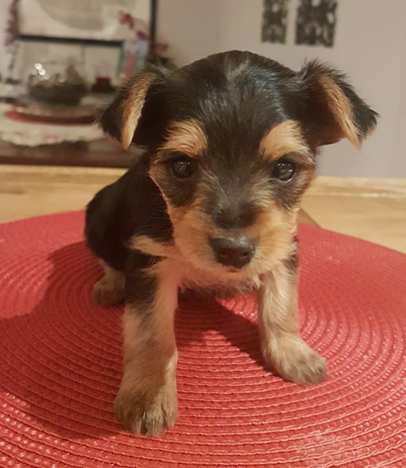 Yorkie and griffon mix non Shedding