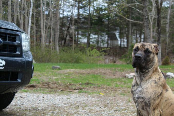 Italian Mastiff × American Bulldog+Pitbull