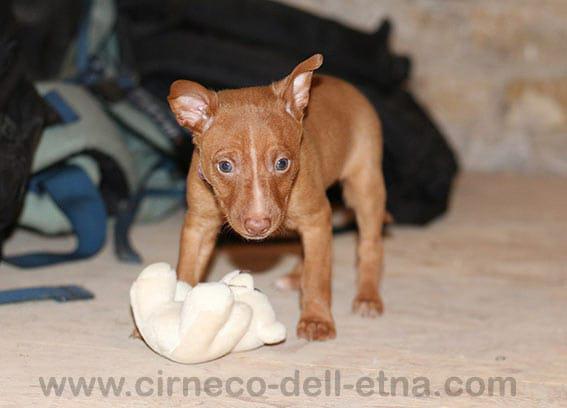 Sicilian hound (Cirneco dell'Etna)