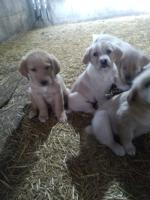 Labrador X Golden Retriever