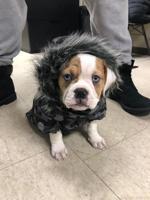 French English Mini Bulldog