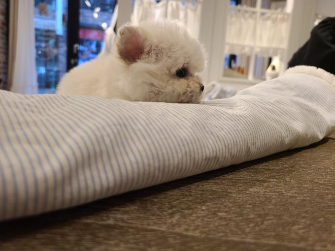 mini bichon