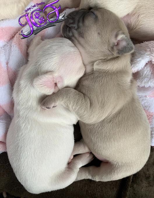 CKC French Bulldog Puppies
